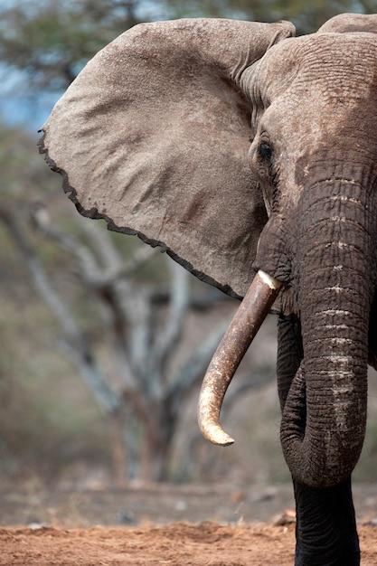 Elefante vida selvagem no quênia Foto Premium