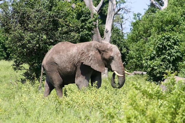 Elefante Foto Premium