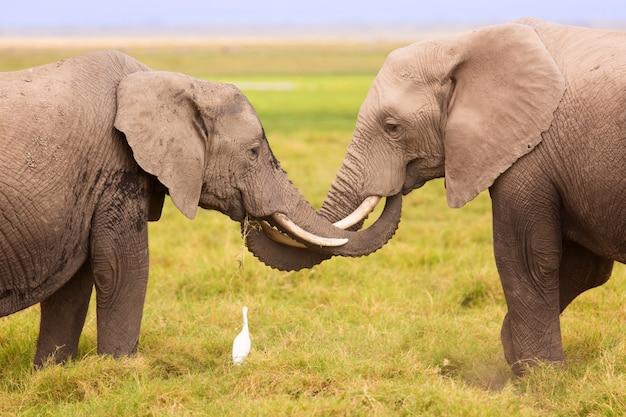Elefantes africanos no parque nacional de amboseli. quênia, áfrica. Foto Premium