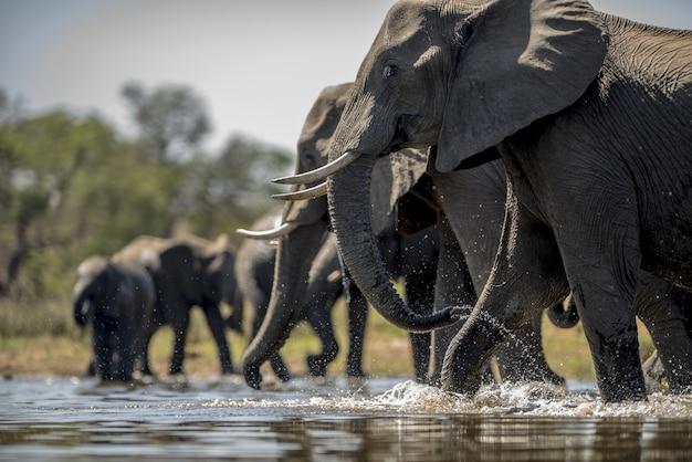 Elefantes água potável Foto gratuita