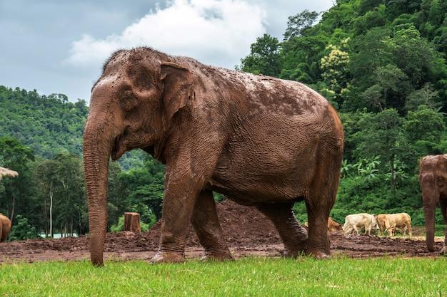 Elefantes em chiang mai. elephant nature park, tailândia Foto Premium