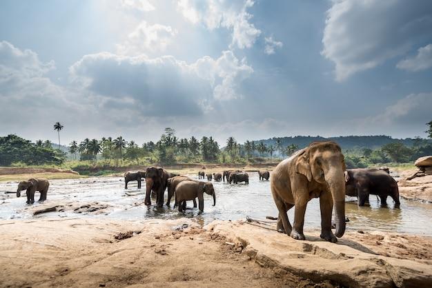 Elefantes em uma bela paisagem no sri lanka Foto Premium