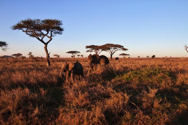 Elefantes na savana na tanzânia Foto Premium