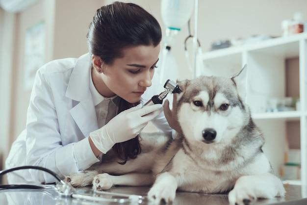 Enfermeira menina bonita no jaleco, verificação de orelhas de cão. Foto Premium