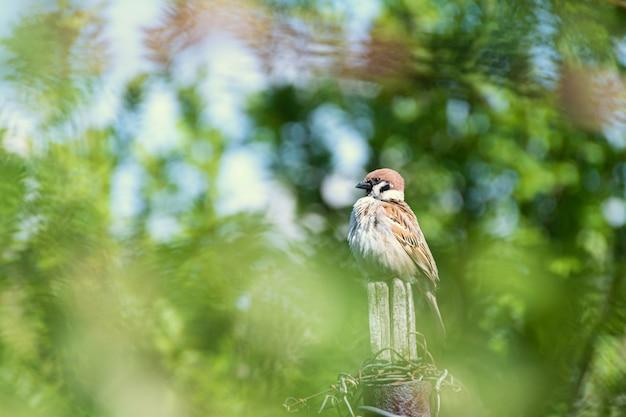 Engraçado pequeno pardal sentado em uma cerca de madeira velha no jardim na primavera Foto gratuita