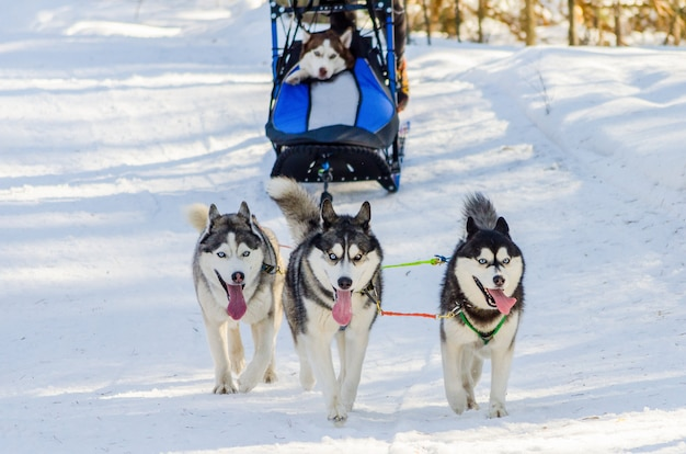 Engraçado três cães husky siberiano no chicote de fios. competição de corrida de cães de trenó Foto Premium