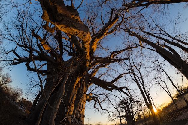 Enorme planta de baobá na savana com céu azul claro ao pôr do sol Foto Premium