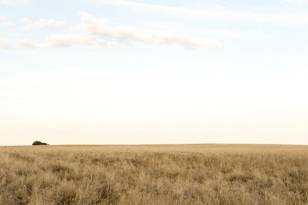 Ensolarado paisagem de um campo de trigo Foto Premium