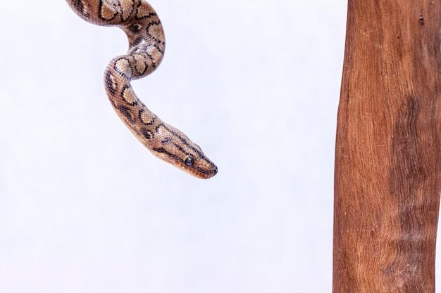 Epicrates cenchria é uma espécie de jibóia endêmica na américa central e do sul. os nomes comuns incluem a boa do arco-íris e boa delgada Foto Premium