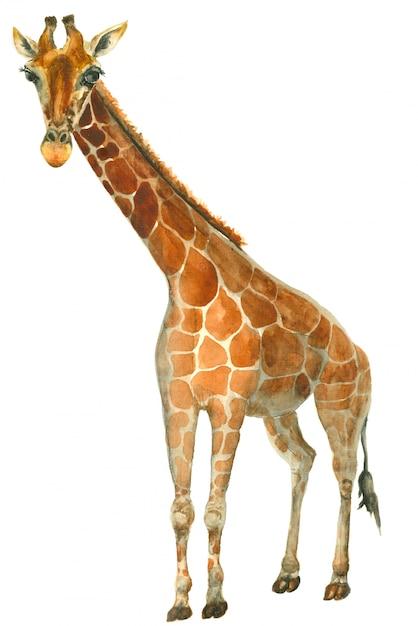 Esboço de girafa em aquarela Foto Premium