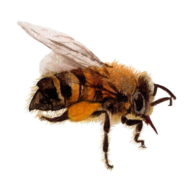 Esboço desenhado de mão de abelha e ilustrações em aquarela Foto Premium