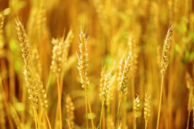 Espiga de trigo close-up no campo turva Foto Premium