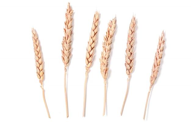 Espigas de trigo Foto Premium