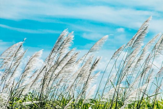Espontaneum saccharum no fundo do céu azul do vento Foto Premium