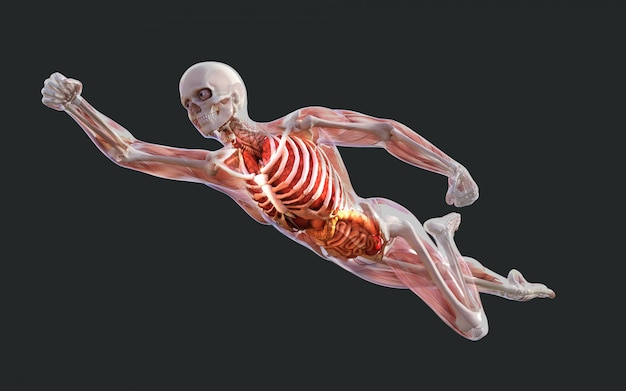 Esqueleto humano, músculo, sistema, osso, e, sistema digestivo, com, caminho cortante Foto Premium