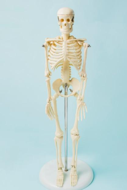 Esqueleto humano Foto gratuita