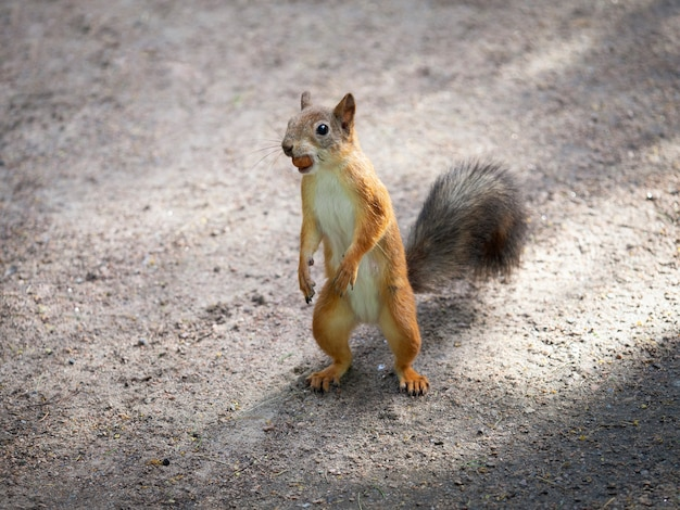 Esquilo alimentando perto. animais selvagens no parque. Foto Premium