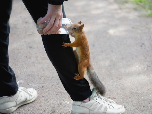 Esquilo alimentando perto. um esquilo selvagem subiu nas roupas. Foto Premium