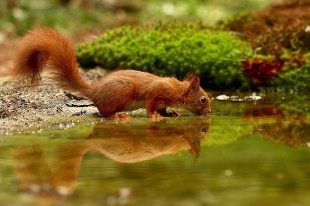 Esquilo bonito bebendo água de um lago em uma floresta Foto gratuita