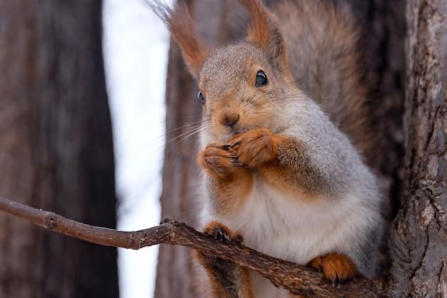 Esquilo bonito come uma noz no parque de inverno Foto Premium