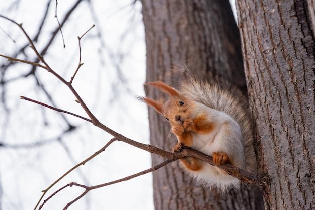 Esquilo bonito senta-se no galho de árvore e come uma noz no parque de inverno Foto Premium