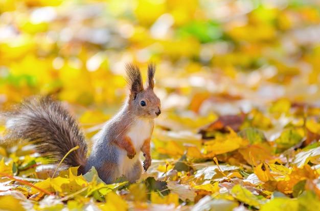 Esquilo bonito sentado no parque outono em são petersburgo Foto Premium