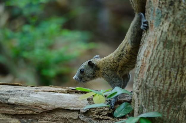 Esquilo cinzento-inchado na floresta Foto Premium