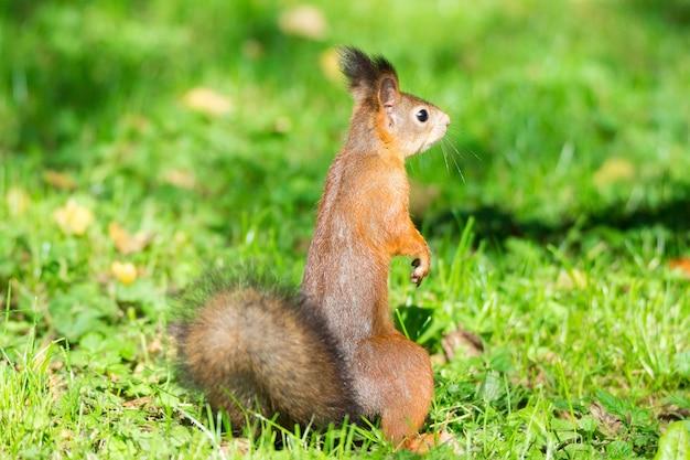 Esquilo em um galho Foto Premium