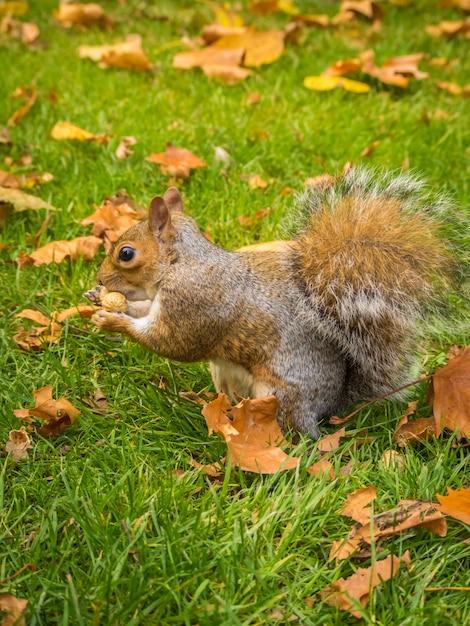 Esquilo fofo brincando com folhas secas de bordo em um parque durante o dia Foto gratuita