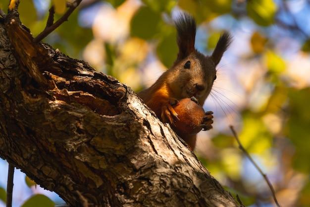 Esquilo laranja comendo maçã Foto Premium