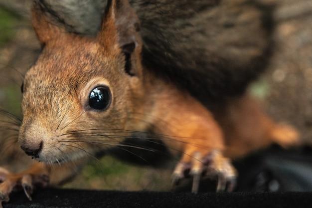 Esquilo pede uma noz Foto Premium