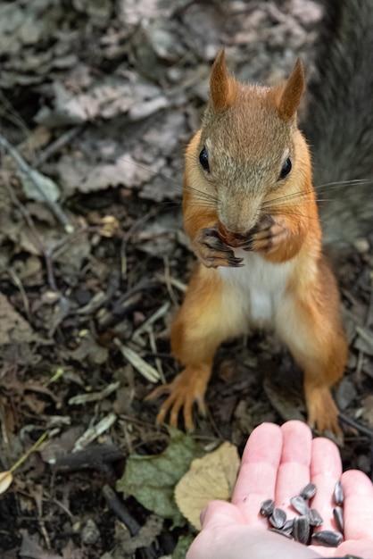 Esquilo pega sementes de girassol da mão humana estendida. conceito amigável de animais. Foto Premium