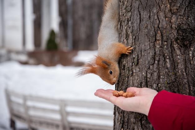 Esquilo pega uma noz da mão humana estendida. conceito amigável de animais. Foto Premium