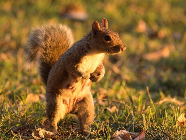 Esquilo raposa no chão coberto de grama sob a luz do sol Foto gratuita