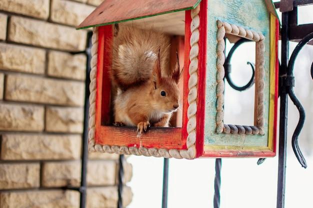 Esquilo senta-se em uma calha de alimentação e come nozes. esquilo em uma casa no inverno no jardim botânico. Foto Premium