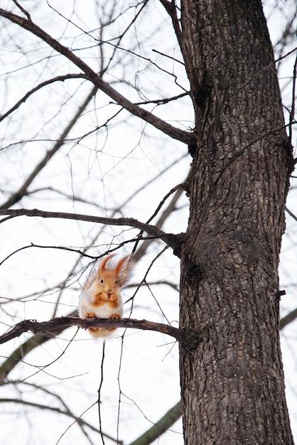 Esquilo sentado no alto de uma árvore na floresta Foto Premium