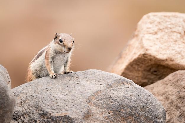 Esquilo terrestre em pé sobre uma rocha Foto Premium