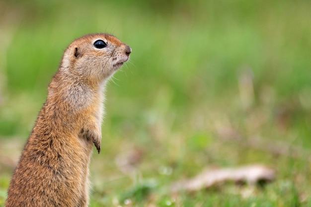 Esquilo-terrestre spermophilus pygmaeus parado na grama Foto Premium
