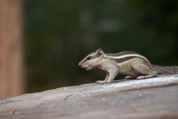 Esquilo Foto Premium