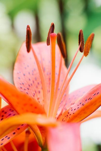 Estames de lírio laranja perto com foco seletivo Foto Premium