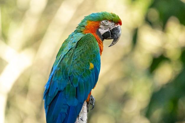 Este espécime foi resultado do cruzamento de uma arara-grande-verde com uma arara-vermelha Foto Premium