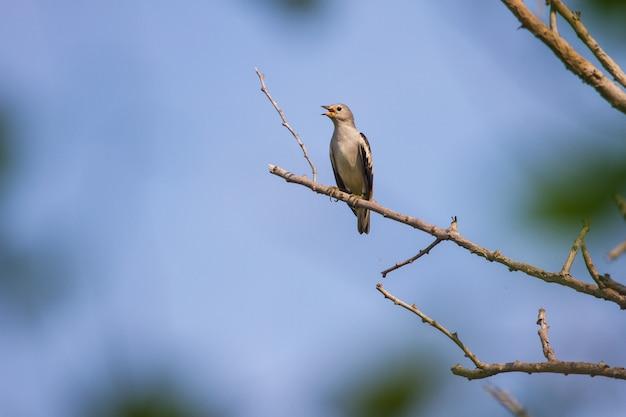 Estorninho-de-dorso-roxo, sentado em um galho na floresta Foto Premium