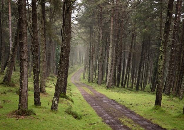 Estrada do cascalho da sujeira do enrolamento através da floresta verde ensolarada do pinho iluminada através da névoa. Foto Premium