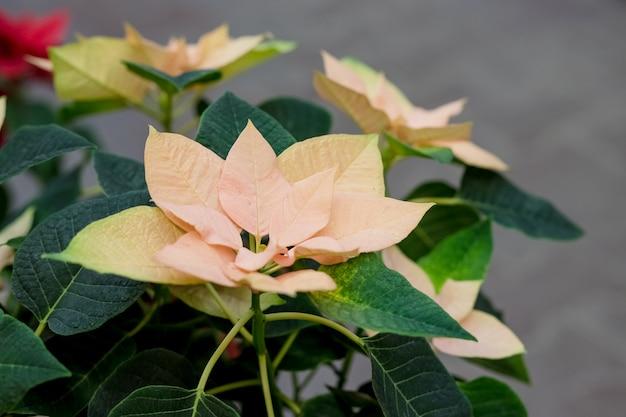 Estrelas amarelas do natal flores da poinsétia, eufórbio pulcherrima, estrela de belém, foco seletivo. Foto Premium