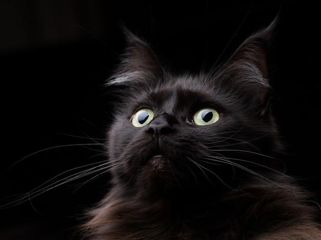 Estúdio, retrato, de, um, bonito, gato coon maine Foto Premium