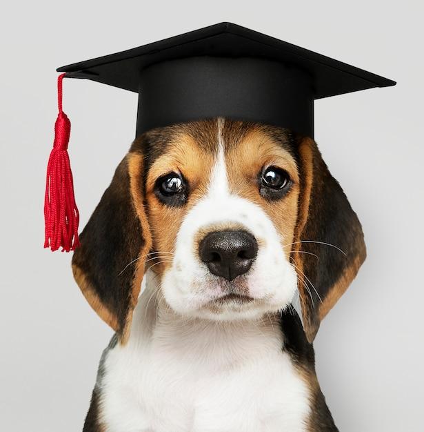 Estudioso do filhote de cachorro do lebreiro Foto gratuita