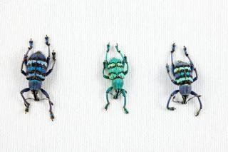 Eupholus trio besouro eupholus Foto gratuita