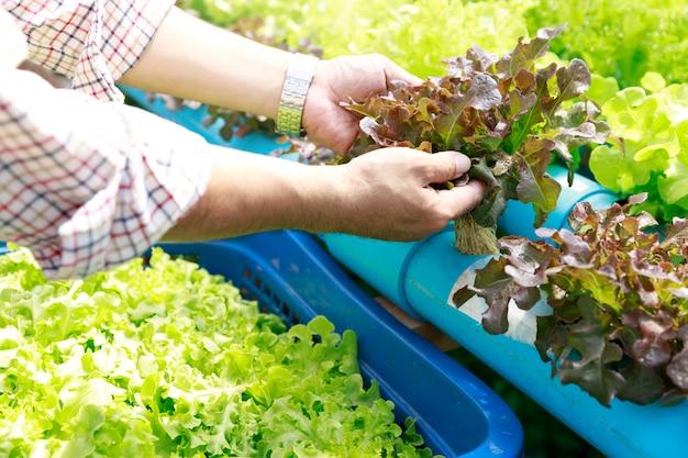 Exploração agrícola da hidroponia, trabalhador que guarda o vegetal hidropônico orgânico da alface no jardim da exploração agrícola da estufa. Foto Premium
