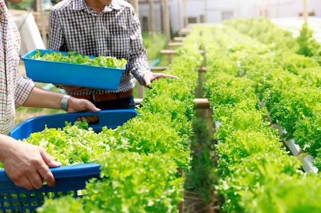 Exploração agrícola da hidroponia, vegetal hidropônico orgânico da alface da colheita do trabalhador no jardim da exploração agrícola da estufa. Foto Premium