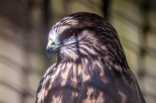 falcão pássaro gavião baixar fotos gratuitas